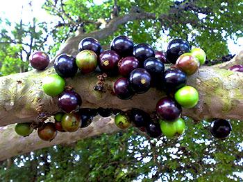 Jabuticaba tree  Jabuticaba