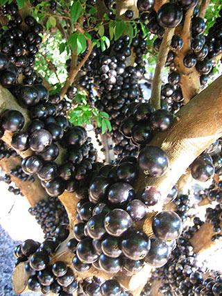 Jabuticaba tree in full fruit  Jabuticaba Fruit