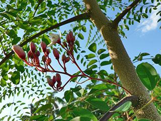 Moringa Leaves and Flower